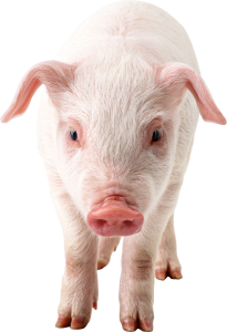 pig-png-clipart